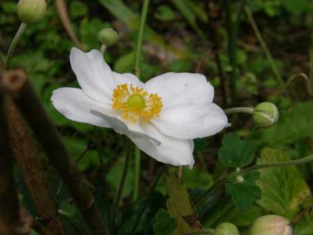 シュウメイギク白花一重