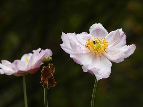 八重咲シュウメイギク