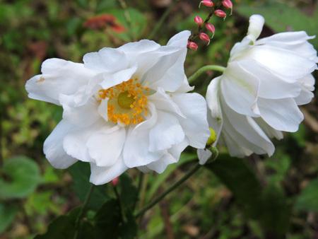 シュウメイギク白八重咲1