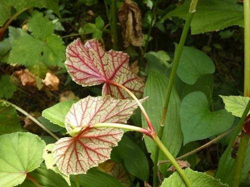 シュウカイドウ白花の葉裏