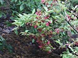紅花ウツギ