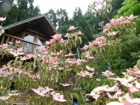 紅花ヤマボウシ