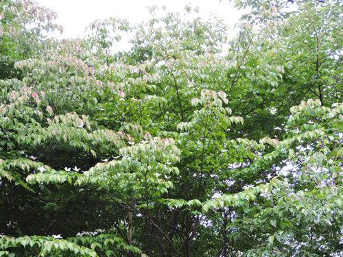 ヤマボウシ白花と紅鶴