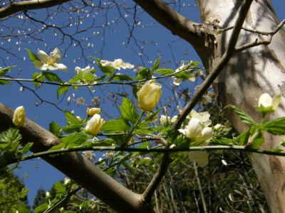 白花ヤマブキと