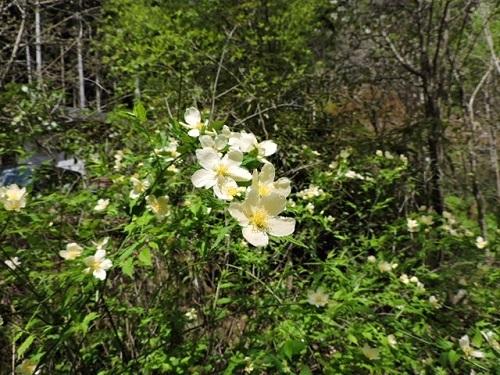 白花ヤマブキ3