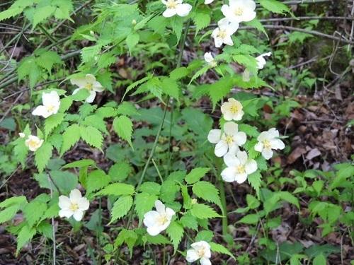 白花ヤマブキ2
