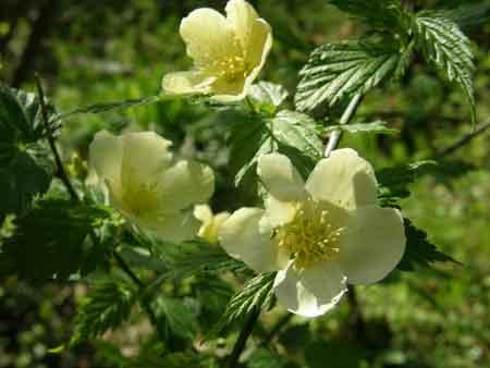 白花ヤマブキ