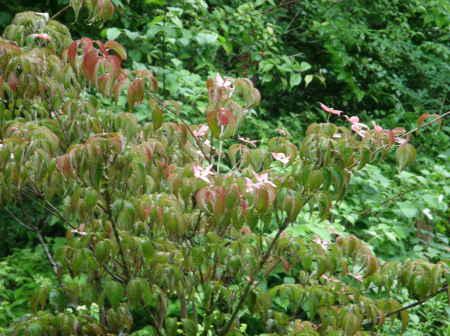 紅花ヤマボウシ1