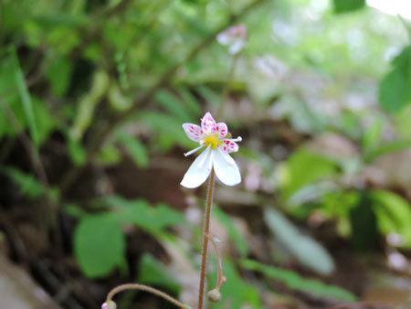 八重咲ユキノシタ2