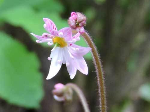 八重咲ユキノシタ1