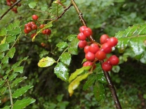 山椒の赤い実