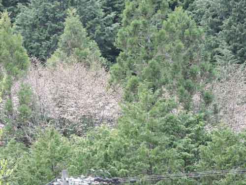 向いの山の桜