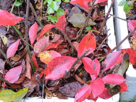 育樹園の紅葉4