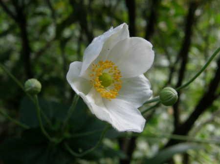 一重咲き白