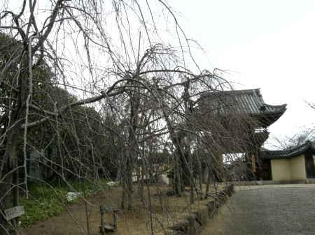 枝垂れの梅