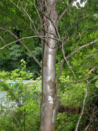 夏椿の木肌1