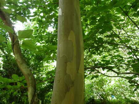 夏椿の木肌2