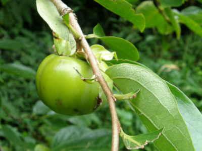 渋柿が一個