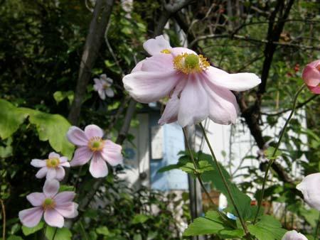 一重咲きピンク