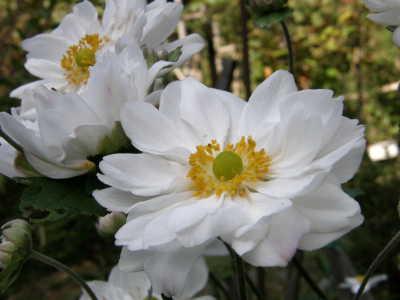 シュウメイギク白八重咲き