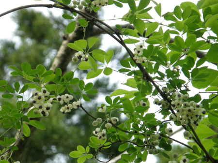 アケビ白花
