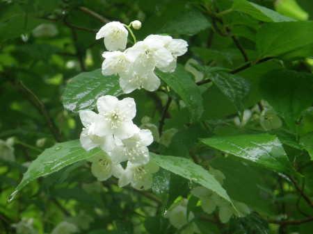 梅花ウツギ野生種2
