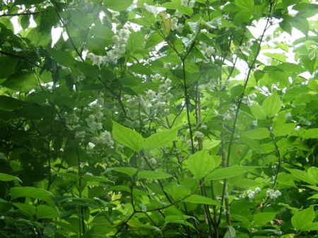 梅花ウツギ野生種3