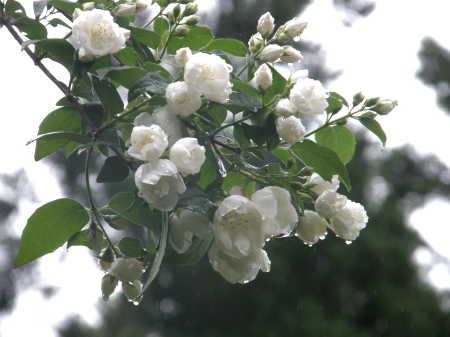 梅花ウツギ園芸種1