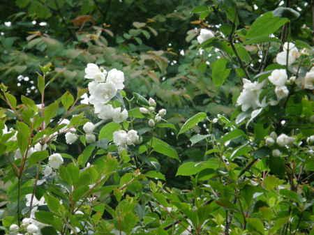 梅花ウツギ園芸種2