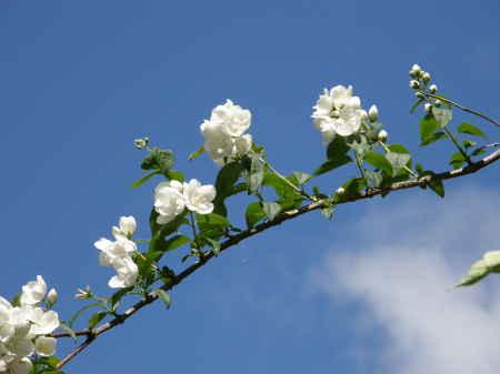 梅花ウツギ園芸種3