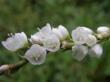 白花サクラタデ3